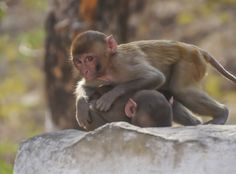 Monkeys playing together in  Monkey Temple Jaipur India