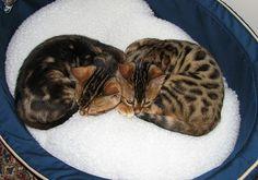 Ben & Leo Cat Nappping
