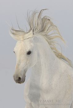 Beautiful White Horse on a Windy Day. Majestic Horse, Beautiful Horses, Animals Beautiful, Horse Posters, All About Horses, Horse World, White Horses, Equine Art, Horse Pictures