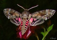 Actually this is not a Pink Stiped HummingBird moth. It is commonly mistaken, but it is really a Hawk Moth Beautiful Bugs, Beautiful Butterflies, Beautiful Creatures, Animals Beautiful, Pink Moth, Hummingbird Moth, Cool Bugs, Moth Caterpillar, A Bug's Life
