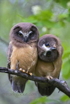 A curious pair of young Saw-whet owls. - title Curious Owls