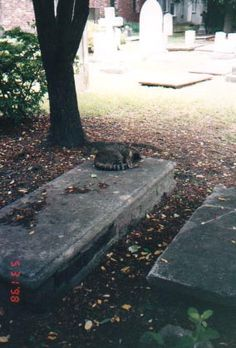 Cat in Charleston SC cemetery