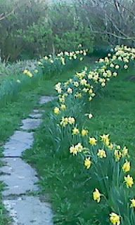 garden path lined with daffodils
