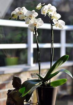 Orchid es vari t s entretien floraison rempotage - Comment couper orchidee apres floraison ...
