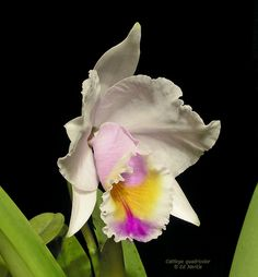 Cattleya quadricolor - Orchid Forum by The Orchid Source