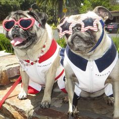 You Won't Believe How Many Online Followers These Dogs Have: Minnie and Max the Pugs: Over 817,000 Facebook likes