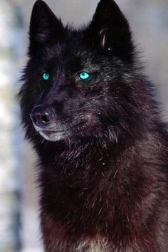 Loup Noir aux yeux bleus_Black Wolf with blue eyes Wolf Photos, Wolf Pictures, Animal Pictures, Wolf Images, Wolf Love, Beautiful Wolves, Animals Beautiful, Beautiful Beautiful, Wolf With Blue Eyes