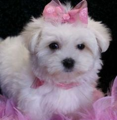 Cachorro Maltês magnífica Ceia para adopção.  Magnífico, branco, feminino cachorro maltês para adoção. Ela é 14 semanas de idade, akc, também conhecido como registrar e está pronta para vir junto com todos os