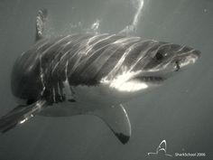 Uno squalo bianco a Gansbaai, Sudafrica. SharkSchool Italy, 2006.