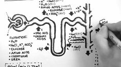 Nephron Function--awesome explanation in video