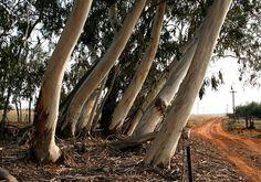 Agribusiness in Kenya: Eucalyptus Farming in Kenya