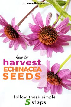 Planning to grow drought-tolerant coneflowers from seed? Our article teaches you how to harvest echinacea seeds and preserve them for future planting. Harvest, Flowers Perennials, Plants, Echinacea, Seeds, Succulent Gardening, Gardening For Beginners, Medicinal Plants, Gardening Tips