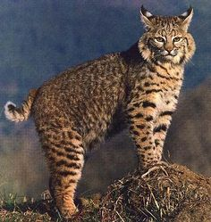 """The """"Difference"""" between the Canadian Lynx and Bobcat 
