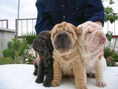 Rainbow sharpei puppies