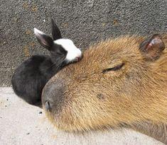 カピバラ ウサギ - Google 検索