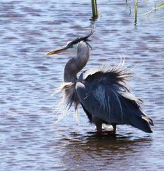 A #heron shaking itself dry after an unsuccessful #fishing strike. #Nikon #wildlife #photograph