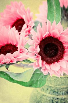 The softness of the Pink sunflowers brings a soft smile and a soft-hearted inner feeling. www.ahhhyes.com