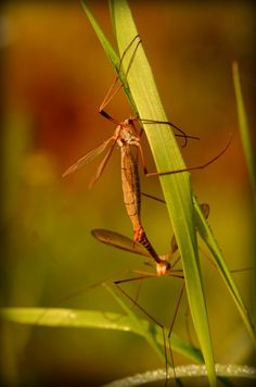Mummy and Daddy Longlegs. by jeffdixon on YouPic Nikon D5100, Daddy, Nature, Photography, Animals, Animales, Animaux, Photograph, The Great Outdoors