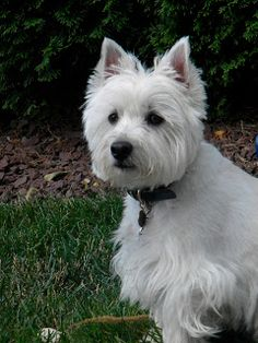 "Gee's Mom's says I is a little girl wild Westie tu! Wunder whys"" Frum Frisbee Bradley the WoNdEr WeStIe! The Wild Westie"