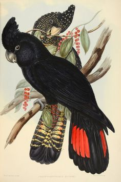 Red-tailed black cockatoo, Calyptorhynchus banksii, by John Gould, From The Birds of Australia (plate Vogel Illustration, Vintage Illustration, Botanical Illustration, John Gould, Bird Book, Australian Animals, Australian Artists, Vintage Birds, Cockatoo