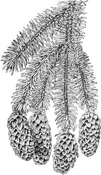 Sitka Spruce Branchlet with Cones coloring page from Spruce category. Select from 31983 printable crafts of cartoons, nature, animals, Bible and many more. Free Printable Coloring Pages, Coloring Book Pages, Coloring Sheets, Free Coloring, Adult Coloring, Sitka Spruce, Simple Pictures, Landscape Drawings, Sketchbook Inspiration