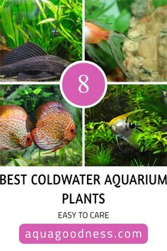 In this blog post, I'm going to show you the best coldwater aquarium plants. All the plants in this list are very undemanding and easy to care. #aquarium #aquariumplants