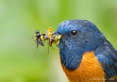 """Blue-fronted redstart - something tells me he's a """"goer"""" in the bird world! lol"""