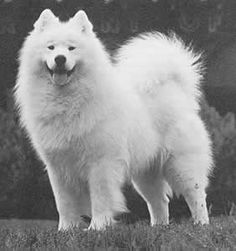 I had a Samoyed for 13.5 years - he was a great dog - and never lost his puppy face even when he didn't see or hear that well any more (he looked very much like this one does)
