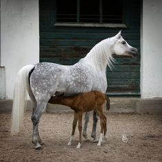 Arabian mare Etnologia (Gazal Al Shaqab x Etalanta) and foal. I just love mares!