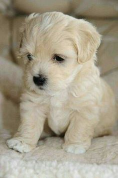 #featured #featured #fun #vintage Cute Baby Puppies, Cute White Puppies, Cute Animals Puppies, Small Cute Puppies, Super Cute Puppies, Dog Baby, Havanese Dogs, Maltese Puppies, Cutest Animals