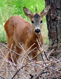 Unicorn Deer in Italy. This roe deer has a genetic flaw that caused his antlers to grow this way.