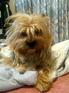 My yorkie Pocholo had a bad hair day.