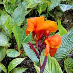 pictures of tropical leaves | Tropical Water Canna - Tropical Bog Plants