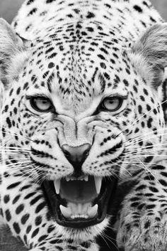 albino leopard.
