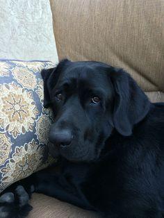 Labrador retriever lounging