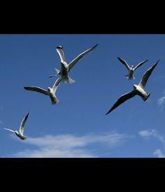 Birdband