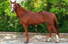 Gidran, or Hungarian Anglo-Arab. A breed developed in Hungary from bloodstock that included the Arabian horse. All members of the breed are chestnut in color. It is an endangered breed today, with only about 200 living representatives worldwide