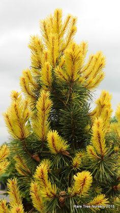 Pinus contorta var. latifolia 'Taylor's Sunburst' - Conifer Kingdom