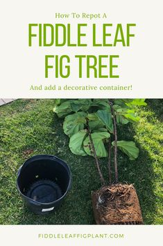 Learn how to repot a Fiddle Leaf Fig Tree plant and add a decorative container! Learn all the proper steps to take when repotting your Fiddle Leaf Fig Tree to keep it healthy and thriving. #fiddleleaffigtree #gardening #houseplant