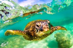 Honu Peekaboo | Hawaii Pictures of the Day Kirsten swims with these frequently
