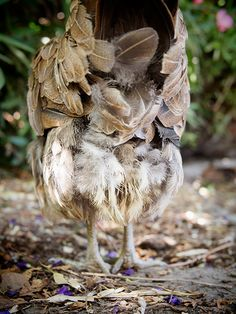 After your chickens finish molting, here's how you can help them regrow healthy, glossy feathers. Raising Backyard Chickens, Cute Chickens, Canned Chicken, Chicken Eggs, Chicken Humor, Chicken Coops, Chicken Story, Chicken Pictures, Urban Homesteading