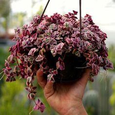 La Crassula Pellucida Variegata Marginalis è una pianta succulenta ricadente. Resistente anche a pieno sole. Comprala ora online!