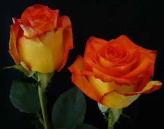 rosas bicolores bogota - Buscar con Google