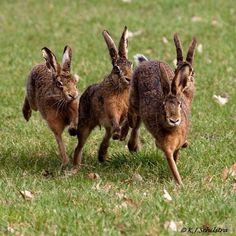 Wild Rabbit, Jack Rabbit, Rabbit Art, Bunny Rabbit, Beautiful Creatures, Animals Beautiful, Animals And Pets, Cute Animals, Beautiful Rabbit
