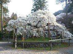 境内にある「千眼桜」や参道の桜並木などが楽しめる大原野神社の桜の見ごろは4月初旬~中旬。  #京都 #春 #kyoto #spring #japan