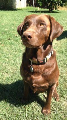 Cooper chocolate Labrador retriever