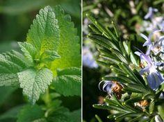 Mire használható a citromfű és a rozmaring? | Bálint gazda kertről, növényekről Plants, Plant, Planting, Planets