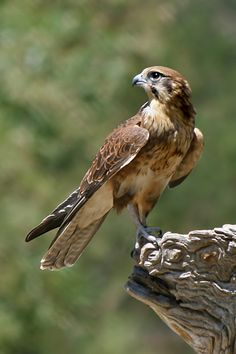 Falcons are birds of prey in the genus Falco, which includes about 40 species. Falcons are widely distributed on all continents of the world except Antarctica, though closely-related raptors did occur there in the All Birds, Birds Of Prey, Love Birds, Beautiful Birds, Bird Pictures, Animal Pictures, Falke Tattoo, Rapace Diurne, Peregrine Falcon