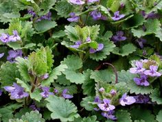 Latin:Glechoma hederacea Also Known As: Cat's Foot, Gill-Go-By-Ground, Gill-Creep-By-Ground, Turnhoof, Alehoof, Haymaids, Tun Hoof, Gill Ale, Gill, Gill Hen, Hedge Maids, Jenny Run-ith Ground, Jill, Hayfole, Heihow, Heyhove, Devil's Candlestick, Creeping Charlie, Field Balm, Lizzy-run-up-the-hedge, Robin-run-up-the-hedge Family:Lamiaceae Habitat and Description: … Continue reading →