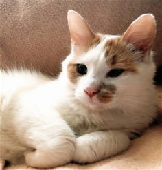 259 Best Young Turks The Endangered Turkish Angora Images Cats